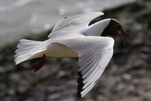 Lachmöwe - Black-headed Gull