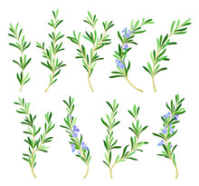 Rosemary Twig As Perennial Herb With Fragrant, Evergreen, Needle-like Leaves And Blue Flowers Vector Set