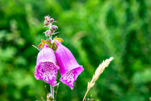 Colorful Flowering Foxglove In County Donegal - Ireland