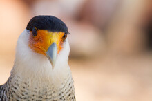 Portrait Of A Cute Southern Crested Caracara (Caracara Plancus)