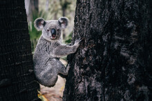 Wild Cute Hanging Koala Portrait