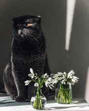 The Gray Cat Sits And Looks At The Muzzle The First Rays Of The Spring Sun Fall. Nearby Are The First White Spring Flowers Of Snowdrops. Cat And Flowers. March Cat. Funny Pets. Spring Mood.