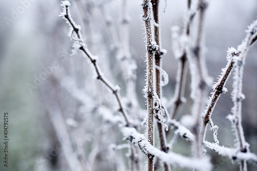 Hoarfrost on the vineyard with in the fog