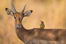 Antelope And A Little Impala Bird Loyal Friends Forever