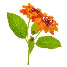 Colorful Lantana Camara Flower Is Isolated On White Background, Close Up