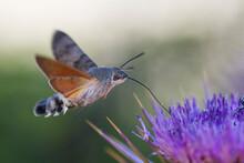 Hummingbird Hawk-moth, Kolibrievlinder, Macroglossum Stellatarum