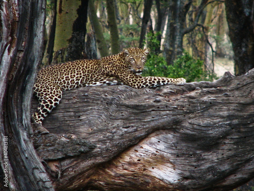 Leopard Lying On Tree In Kenya Fotobehang