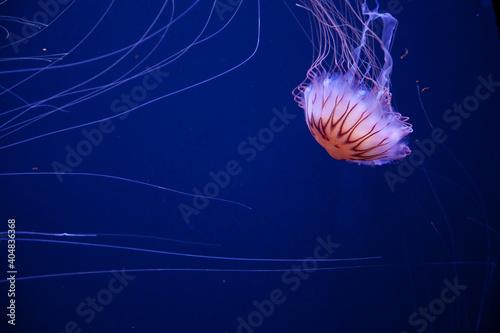 Fototapeta Pływające meduzy obraz