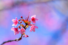 Blossom Of Wild Himalayan Cherry (Prunus Cerasoides) Or Giant Tiger Flower.