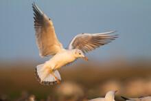 Dunbekmeeuw, Slender-billed Gull, Chroicocephalus Genei