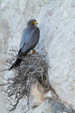 Sooty Falcon; Falco Concolor