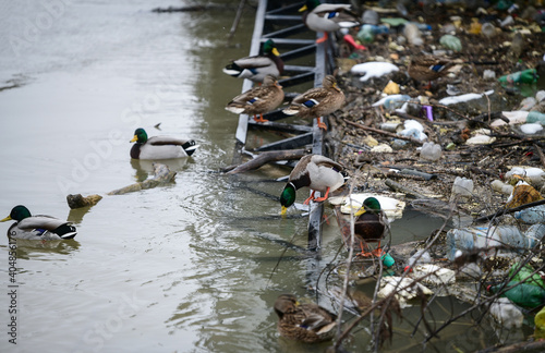 Fotografie, Obraz Flock of ducks in polluted water near the shore
