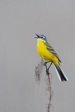 Sykes's Gele Kwikstaart, Sykes's Yellow Wagtail, Motacilla Flava Beema