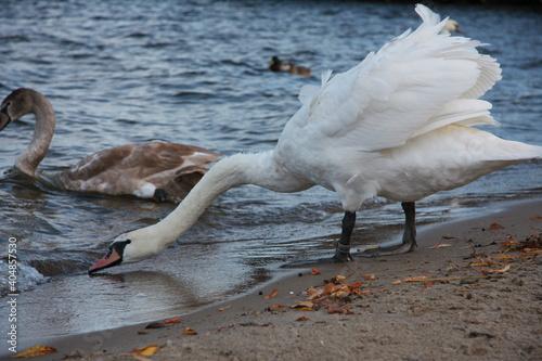 Fototapeta łabędź, ptak, zima, spacer, zwierzęta, natura, przyroda, niebo, fruwać, latać, dziki, dziób, dokarmianie, biały, dumny, piękny, majestatyczny, , pióra, woda, pływać, jezioro, staw, pragnienie obraz