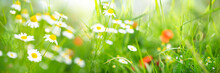 Fresh Green Spring Meadow With White Daisy Flowers On Sunny Day. Horizontal Blurred Background With Short Depht Of Field.