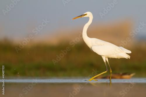 Photo Western Reef-Egret; Egretta gularis ssp. schistacea