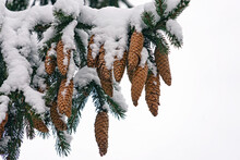 Winter Background. Evergreen Natural Fir Three Branches With Cones Covered With Snow