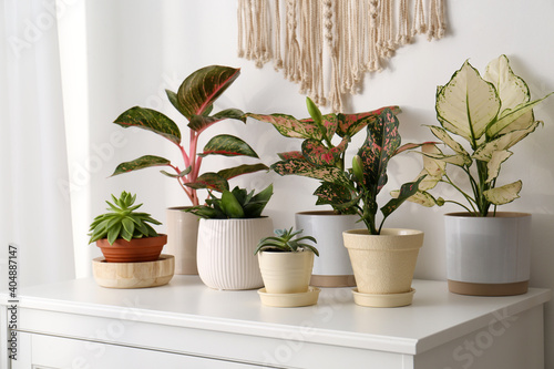 Obraz Exotic houseplants with beautiful leaves on chest of drawers at home - fototapety do salonu