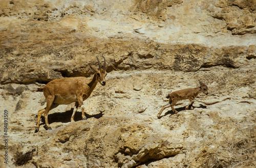 Tablou Canvas Bouquetin de Nubie, Capra ibex nubiana, désert du Néguev, Israel