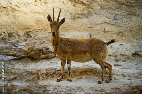 Fotografie, Tablou Bouquetin de Nubie, Capra ibex nubiana, désert du Néguev, Israel