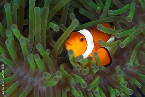 Canvas Clownfish swimming in the tentacles of his  anemone - Amphiprion ocellaris