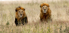 Two Male Lion Brothers  In A Field