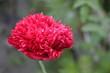 maki, kwiaty, zdrowie, pszczoła, zapylić, czerwony, polny, ogród, uprawa, lato, słońce, miód, roślina, płatki, nasiona