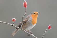 Portrait Of Robin Perched On Dog Rose (Erithacus Rubecula)