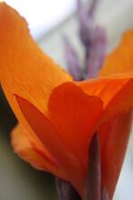 Kanna, Kwiaty, Roślina, Bukiet, Klomb, Ogród, Zakwitł, Lato, Kolor, Pomarańcz, Zielony, Klomb, Natura, Rabata, Rosa, Poranek