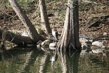 Juvenile American White Ibis Standing Next To Water