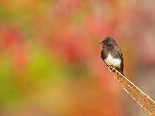 Olive-Sided Flycatcher On Perch