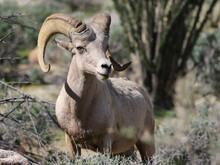 Male Desert Bighorn Sheep - Ovis Canadensis Nelsoni