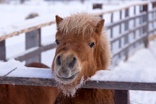 Beautiful Reddish Miniature Horse With Blond Mane Looking Over Its Fence With Friendly Expression