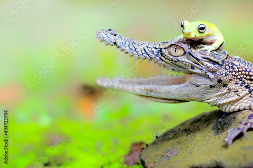 Billede på lærred Close-up Of Crocodile And Frog On Rock