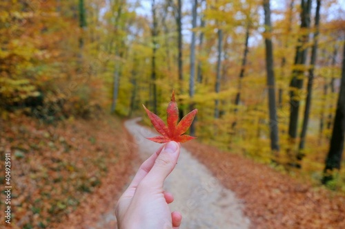 Obraz Cropped Hand Holding Maple Leaf In Forest During Autumn - fototapety do salonu