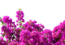 Fragment Of Lush Bougainvillea Tree In Full Bloom Isolated On White Background. Selective Focus.