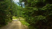 A Gravel Road Winding Through A Spruce Forest. A Wooden Fence Marks The Beginning Of A Farm Land Located In The Mountainous Area. Parang Mountains, Carpathia, Romania