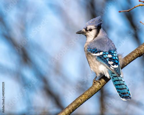 Obraz na plátně Perched Blue Jay