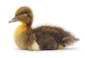 One brown duckling.