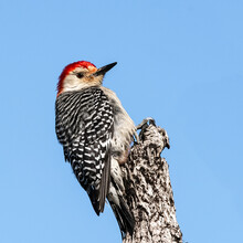 Red Bellied Woodpecker Clinging To A Dead Tree Top