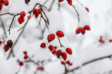 Red Frozen Rose Hips With Snow In Winter. Nature Season