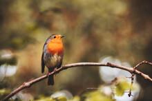 European Robin Erithacus Rubecula Sitting On A Branch.