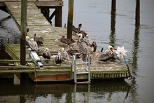 Brown Pelicans Grouped Together On A Dock.
