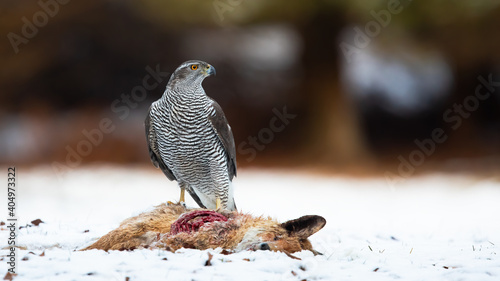Fototapeta premium Northern goshawk, accipiter gentilis, standing on white meadow in winter. Grey raptor observing next to dead fox on snow. Striped feathered animal looking on snowy field.