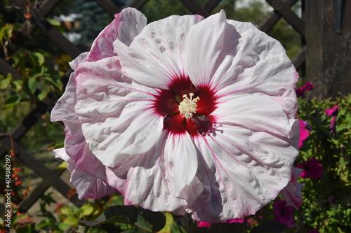 Fototapeta Malwa kwiat obraz
