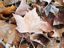 Close-up Of Dry Maple Leaves On Road