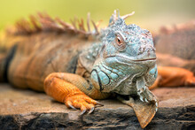 A Green Iguana. It Is A Genus Of Herbivorous Lizards That Are Native To Tropical Areas Of Mexico, Central America, South America, And The Caribbean. The Word Iguana Is Derived From The Original Taino.