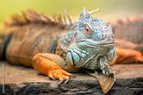 Fotografie, Obraz A green iguana