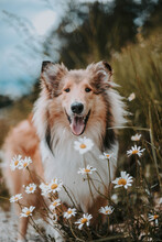 Adult Shetland Sheepdog Surrounded By Daisy Flowers
