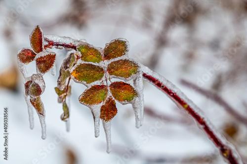 Billede på lærred Leaves inlaid in ice after snow